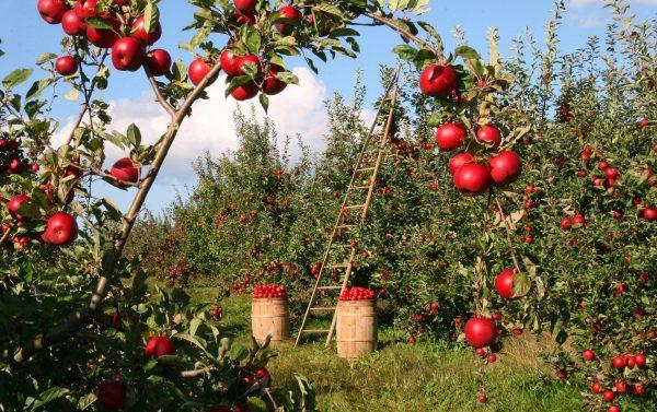 transport frigorifique de pommes